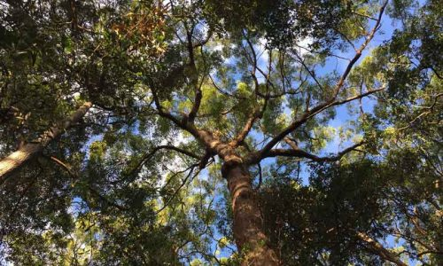 A tree at the Alex Forest Bushland Park - Okinja Early Learning Mooloolaba